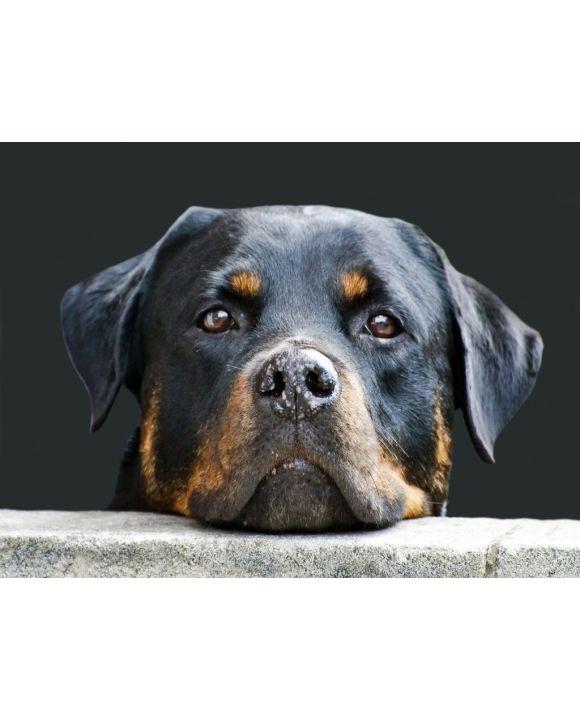 Lais Puzzle - Rottweiler - 500 Teile
