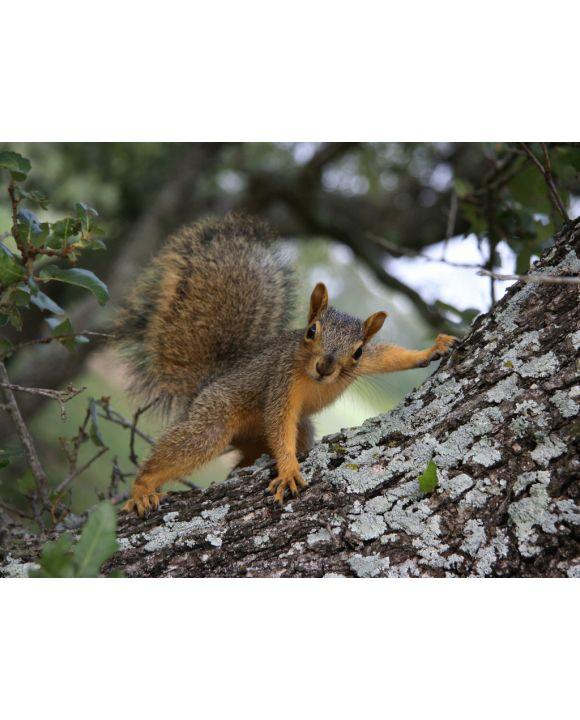 Lais Puzzle - Eichhörnchen posiert - 500 & 1.000 Teile