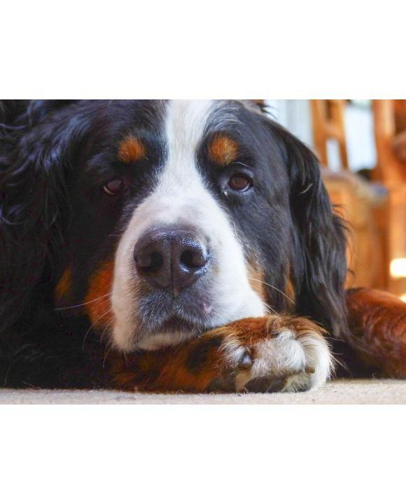 Lais Puzzle - Berner Sennenhund - 1.000 & 2.000 Teile