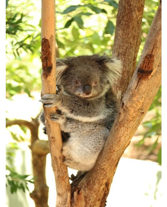 Lais Puzzle - Koala Australien - 200 Teile