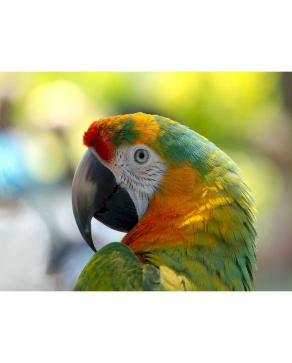 Lais Puzzle - Papagei - 1.000 Teile