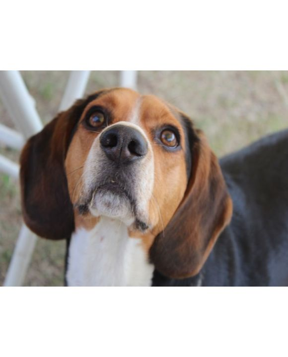 Lais Puzzle - Beagle - 500 Teile