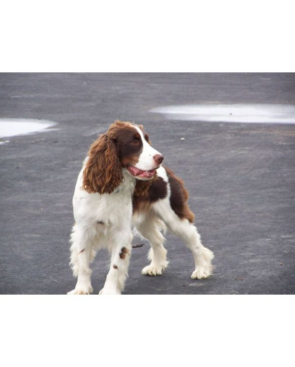 Lais Puzzle - English Springer Spaniel - 100, 200, 500, 1.000 & 2.000 Teile