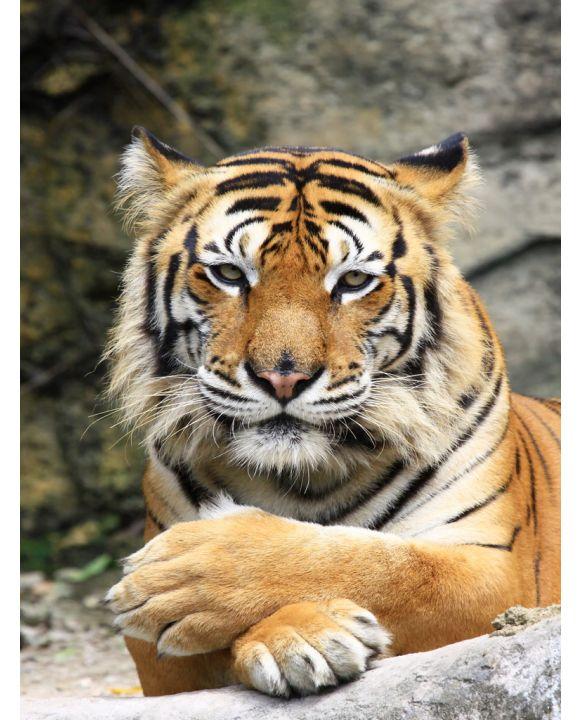 Lais Puzzle - Tiger - 500 & 1.000 Teile