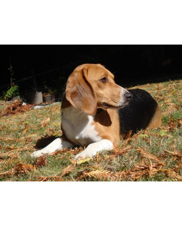 Lais Puzzle - Beagle - 1.000 Teile