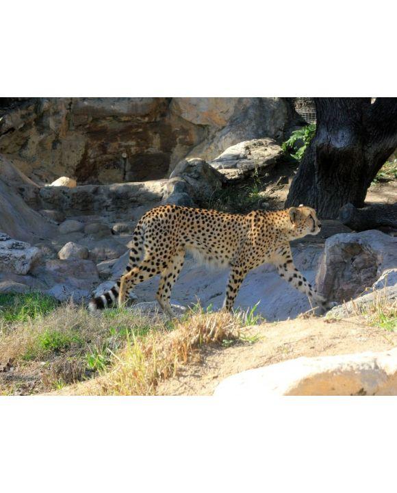 Lais Puzzle - Gepard - 200 Teile