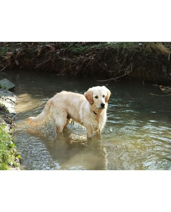Lais Puzzle - Golden Retriever - 100, 200, 500, 1.000 & 2.000 Teile