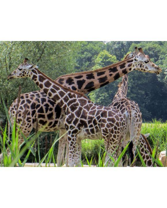 Lais Puzzle - Giraffen - 500 & 1.000 Teile