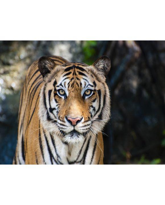 Lais Puzzle - Bengalischer Tiger - 100, 200, 500 & 1.000 Teile