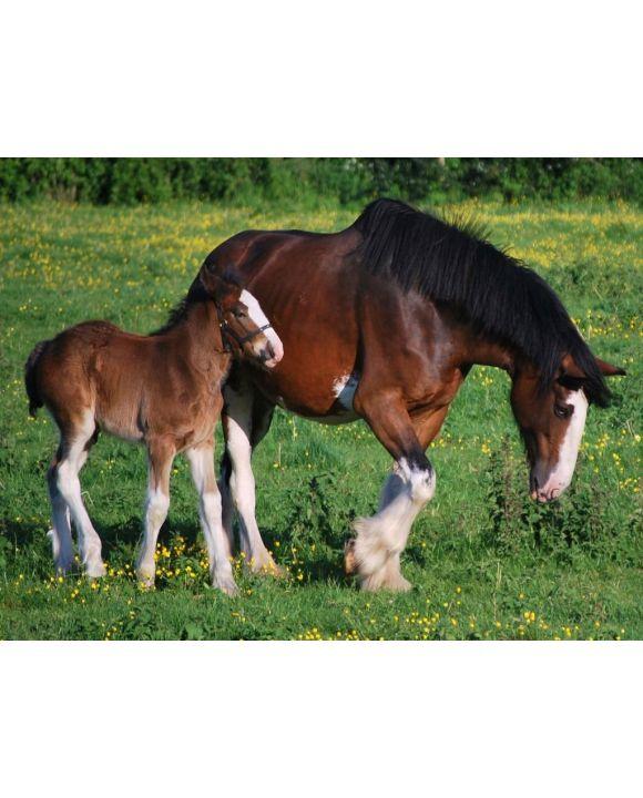 Lais Puzzle - Clydesdale Horse - 500 & 1.000 Teile