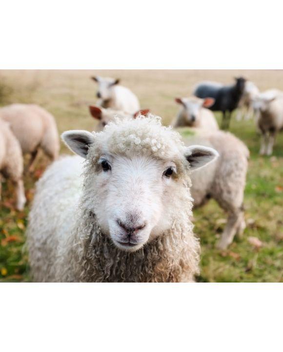 Lais Puzzle - Schafe in Irland - 100, 200, 500, 1.000 & 2.000 Teile