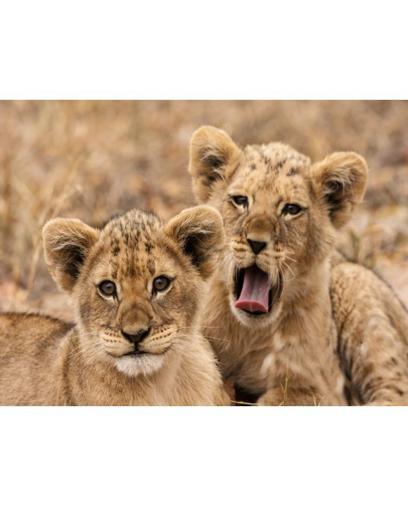 Lais Puzzle - Junge Löwen - 1.000 Teile
