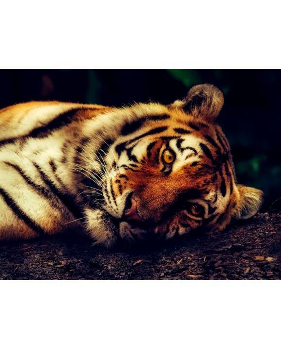 Lais Puzzle - Tiger - 100, 200, 500, 1.000 & 2.000 Teile