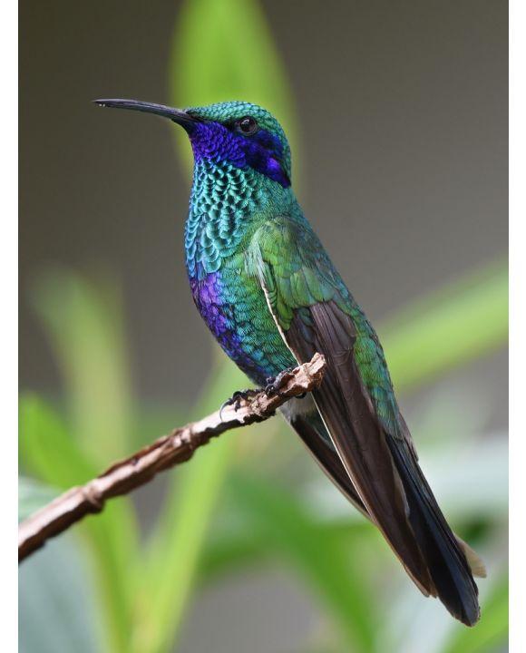 Lais Puzzle - Kolibri - 200 Teile
